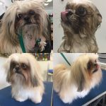 before and after of a Pekingese
