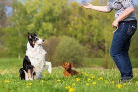 Dogs pracxticing obedienc cues